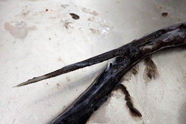 ホシエイの尻尾
